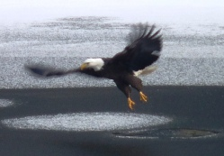 eagle flies on ice 26Jan2013